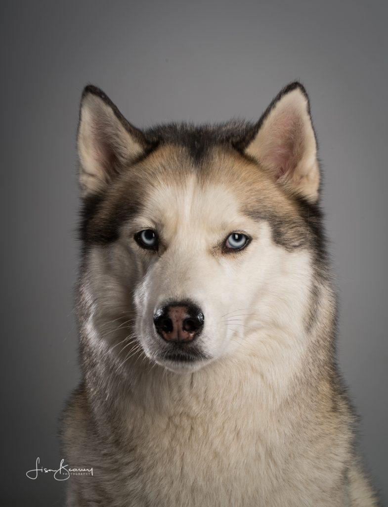 Zeiss Batis 135 Siberian Husky